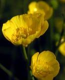 żółte kwiaty Zdjęcia Stock