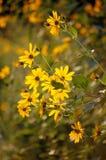 żółte kwiaty zdjęcie royalty free
