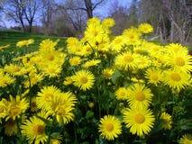 żółte kwiaty Zdjęcie Stock