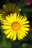 żółte kwiaty Fotografia Royalty Free