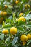 Żółte mandarynki pomarańcze owoc na drzewie obrazy stock