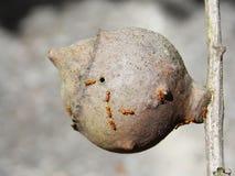Żółte mrówki Fotografia Royalty Free