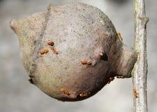 Żółte mrówki Obraz Royalty Free