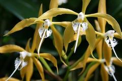 żółte orchidee Zdjęcia Royalty Free