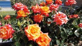 Żółte Pomarańczowe róże Kołysa w wiatrze zbiory