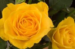 żółte róże Zdjęcie Royalty Free