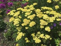 Żółte róże i więcej obraz royalty free