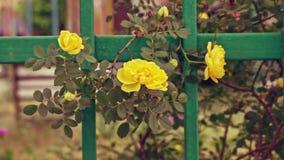 Żółte róże macha z wiatrem zbiory wideo
