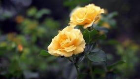 Żółte róże na krzaku