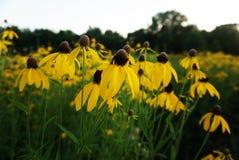 Żółte stokrotki, chamomile fotografia stock