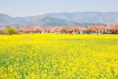 Żółtego gwałta kwiatu pola i Czereśniowego okwitnięcia drzewa przy wiosną w Gyeongju, Korea fotografia royalty free