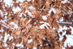 Żółtego nieboszczyka susi liście stary Dębowego drzewa Plantae Quercus zakrywający z śniegiem w zimie przyprawiają tło wizerunku  obraz royalty free