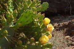 Żółtego opuntia kaktusowy kwiat fotografia stock
