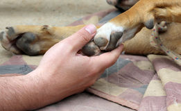 żółtego psa łapa i ludzka ręka, przyjaźni pojęcie obrazy stock