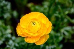 Żółtego Ranunculus piękni płatki w ogródzie zdjęcia royalty free