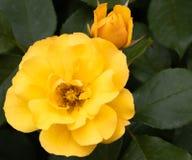 Żółtego Tequila krzaka Złocista hybrydowa róża up i pączek zamknięci w selekcyjnej ostrości z zieleń liśćmi w tle zdjęcie stock