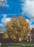 Żółtego złota sezonu jesiennego drzewo z niebieskim niebem fotografia stock