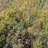 Żółtej brzozy las w jesieni Tło zdjęcia royalty free