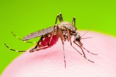 Żółtej febry, malarii lub Zika komara insekta wirus Infekujący mac, fotografia stock