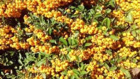 Żółtej jagody jesieni owocowy naturalny tło Zdjęcie Stock