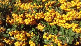 Żółtej jagody jesieni owocowy naturalny tło Obrazy Stock