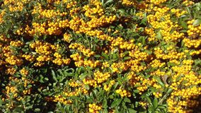 Żółtej jagody jesieni owocowy naturalny tło Obraz Royalty Free