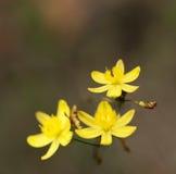 Żółtej Pośpiechu Lelui Australijski kwiat Tricoryne Obrazy Royalty Free