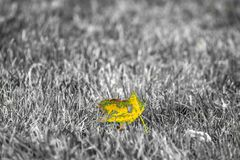 Żółtej zieleni liść na monochromatycznej trawie Fotografia Royalty Free