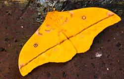 Żółty ćma przeciw ścianie zdjęcie royalty free