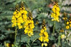 Żółty łubin kwitnie w kwiacie na słonecznym dniu obraz royalty free