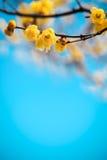 Żółty śliwkowy okwitnięcie w winte Zdjęcia Royalty Free