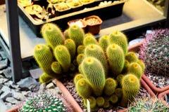 Żółty żywy kaktus w jeden Moskwa uprawia ogródek obraz royalty free