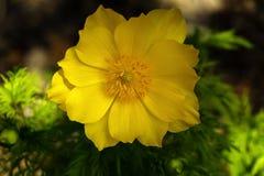 Żółty Adonis kwiatu zbliżenie Obrazy Stock