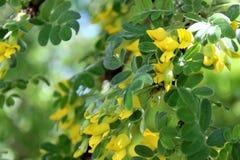 Żółty akacjowy krzak kwitnie w opóźnionej wiośnie zdjęcia stock