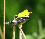 Żółty Amerykański szczygieł Umieszczający Na trzonie zdjęcie stock