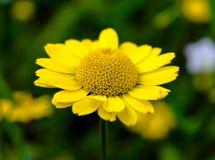 Żółty Anthemis na ciemnym tle fotografia royalty free