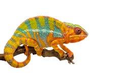 Żółty błękitny jaszczurki pantery kameleon odizolowywający na białym tle zdjęcie royalty free