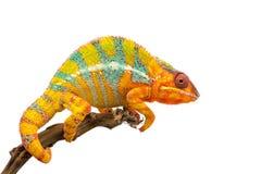 Żółty błękitny jaszczurki pantery kameleon odizolowywający na białym tle zdjęcie stock