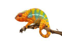 Żółty błękitny jaszczurki pantery kameleon odizolowywający na białym tle obrazy stock