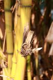 Żółty bambus w Bambusowym gaju i brąz gnarl ono Obraz Stock