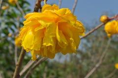 Żółty Bawełniany drzewo Obraz Stock