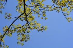 Żółty Buckeye Obraz Royalty Free