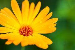Żółty calendula kwiat z kroplami po deszczu duży kropli zieleni liść makro- fotografii woda zdjęcia stock