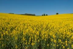 Żółty canola pole, niebieskie niebo i zdjęcie stock