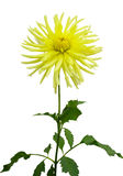 Żółty chryzantema Zdjęcia Royalty Free