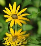 Żółty chryzantema zdjęcie royalty free