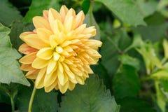 Żółty chryzantema kwiat na tle ulistnienie Obraz Stock