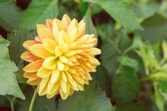 Żółty chryzantema kwiat na tle ulistnienie Obrazy Royalty Free