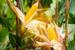 Żółty cob słodka kukurudza na polu Zbiera kukurydzanej uprawy Obraz Stock