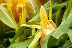 Żółty cob słodka kukurudza na polu Zbiera kukurydzanej uprawy Fotografia Stock